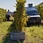 Vendanges sur le domaine le Mas Gourdou Pic-Saint-Loup