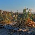 Fleurs des dunes. Plage des Orpellières à Serignan